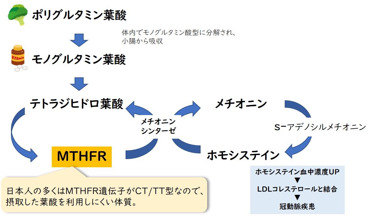 葉酸サイクル